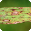 Symptoms of Cochliobolus miyabeanus, the causal agent of brown spot, on rice.