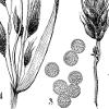 Scan from Naše škodljive rastline (1892)