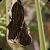 Picture of Sporisorium reilianum