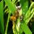 False smut of rice, causal agent Ustilaginoidea virens