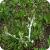 White rust on Capsella bursa-pastoris caused by Albugo candida