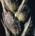 Phaeosphaeria nodorum picture