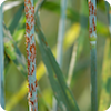 Stem rust picture
